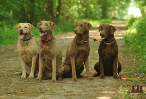 Chesapeake Bay Retriever Familie Mai 2018